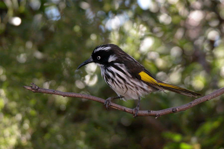 New Holland Honey Eater Bird