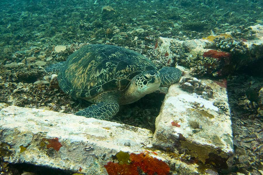 One-of-the-Gilis-local-turtle