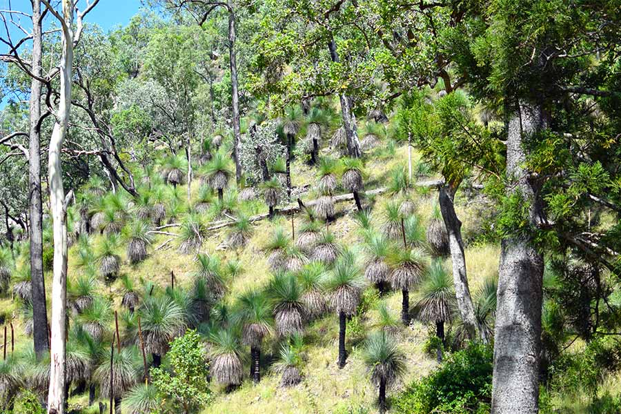 Beautiful, ancient and hard Australian Grass Trees in the Australian bush