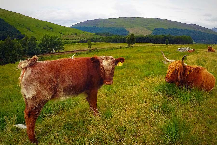 Highland Cows in a field.
