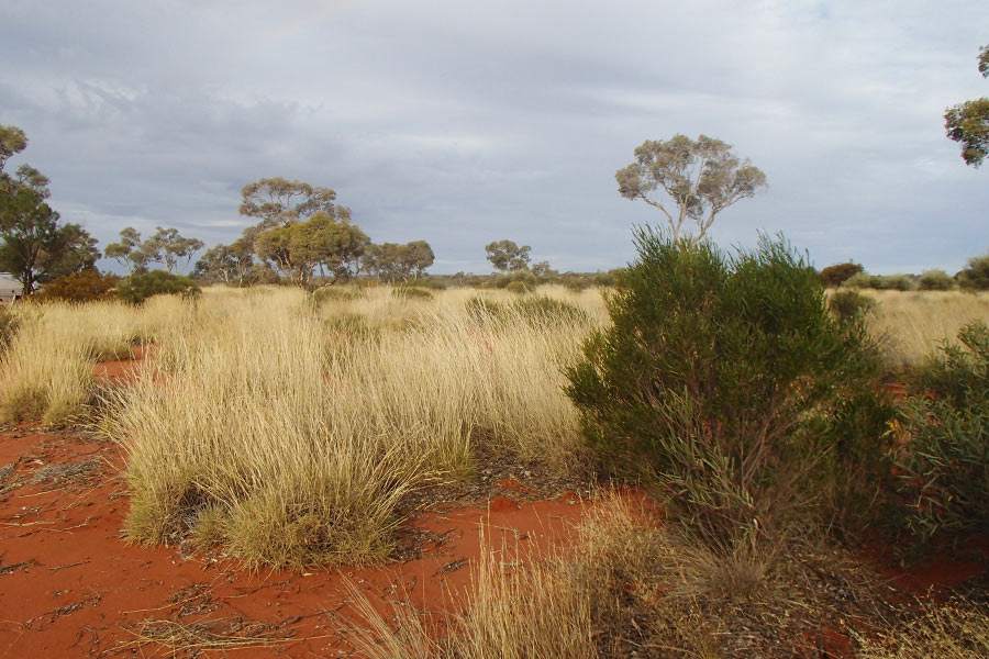 View of spinifex and red sand along the Great Central Road