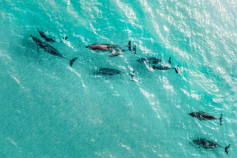A pod of dolphins swimming at Emu Bay in KI