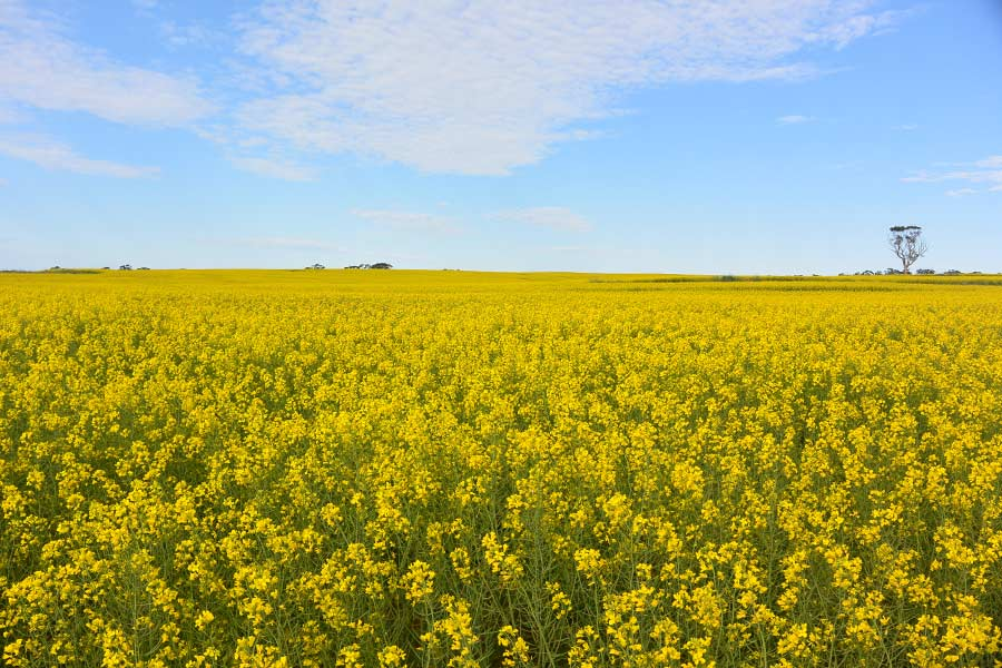 A beautiful yellow field of Canola below blue skies