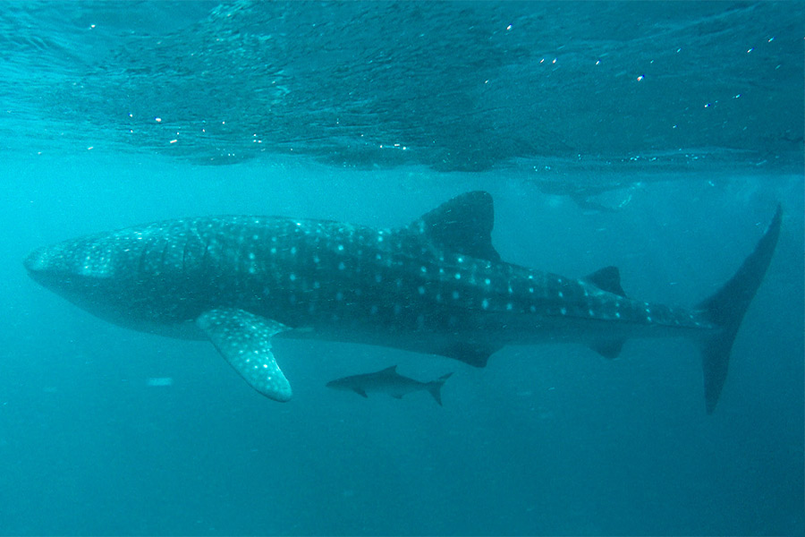 Mama and baby shark sighting on a whale shark tour in Exmouth, WA