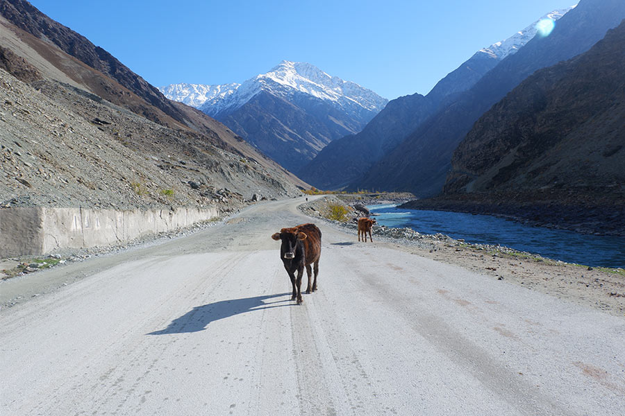 Cows on a rural road with snow-capped mountains in the background
