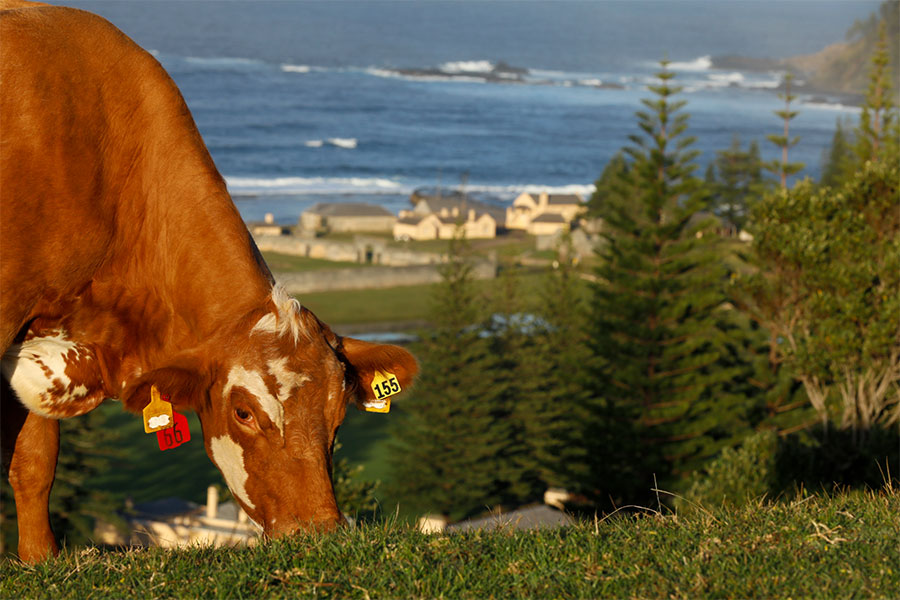 A brown cow eating grass in Norfolk Island
