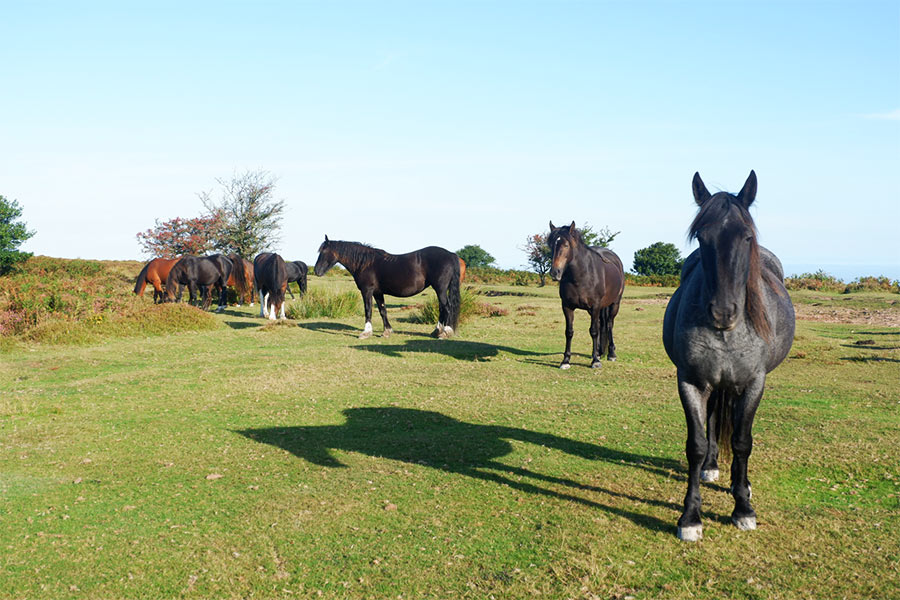 Black and brown horses eating in a field