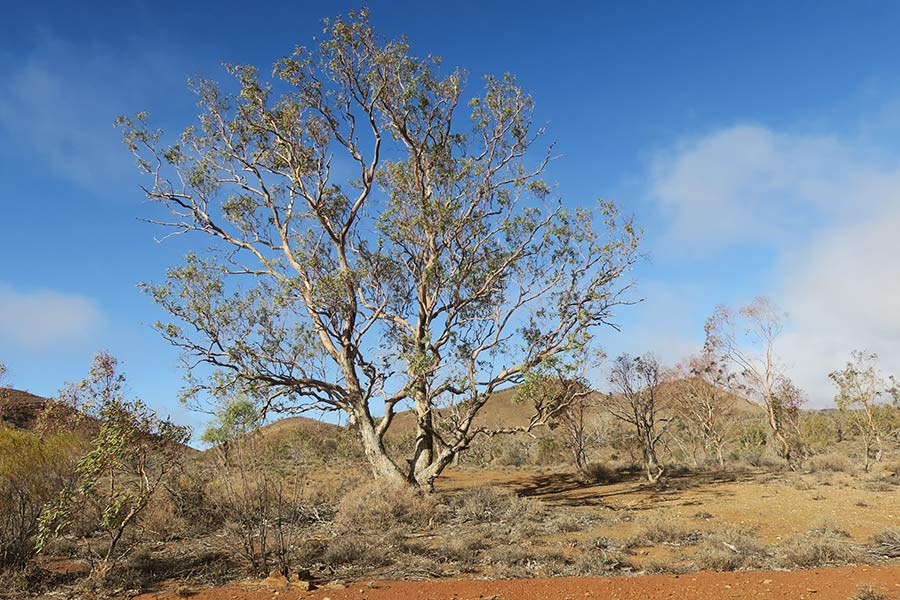 A large tree in front of a blue sky at a picnic ground