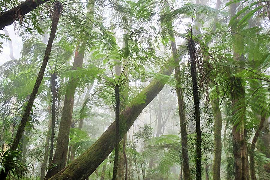 Looking up at the canopy of treetops in a rainforest