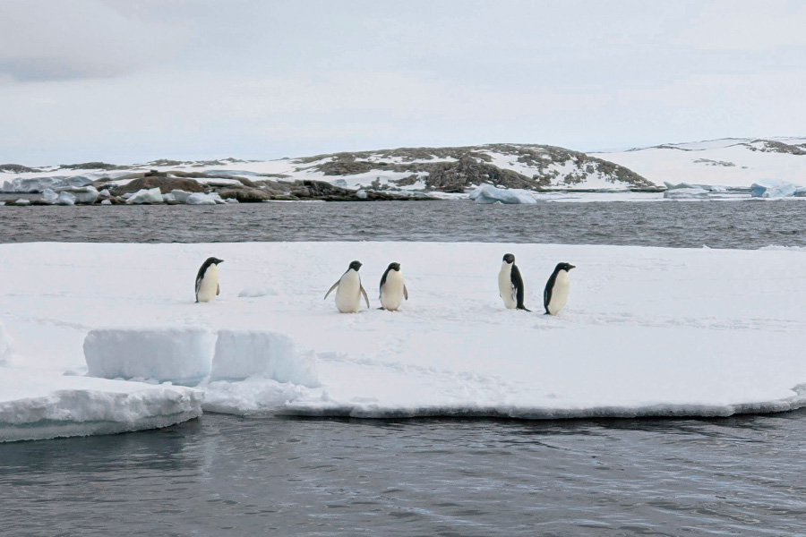 Five Adelie penguins on the ice in Antarctica with  the Arctic waters in foreground and background, plus snow and rock hills in the distance.