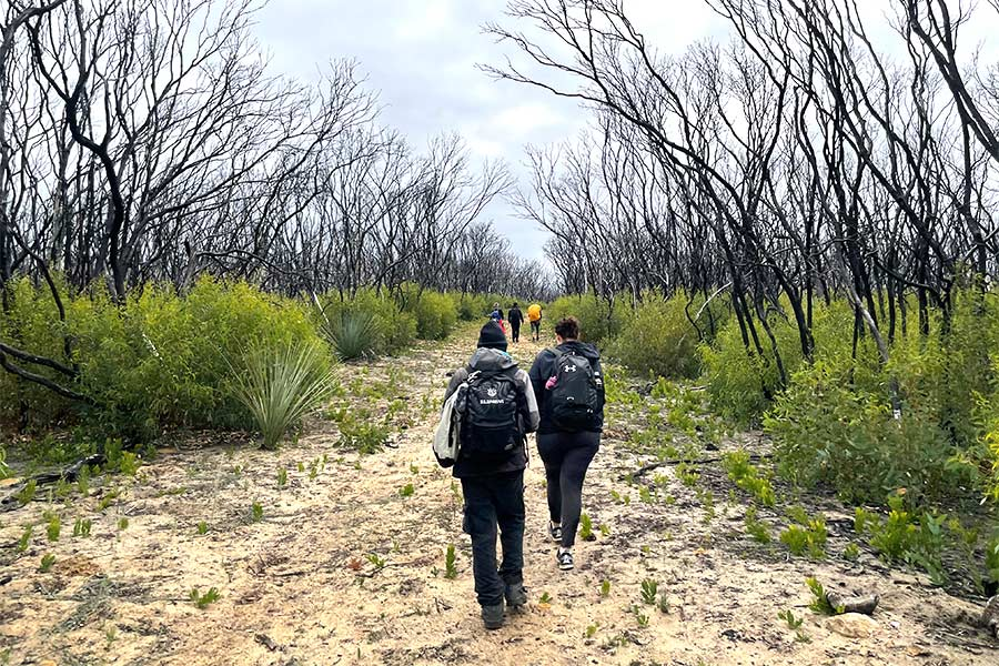 hikers on a sandy trail through blackened trees and the regrowth of scrub.