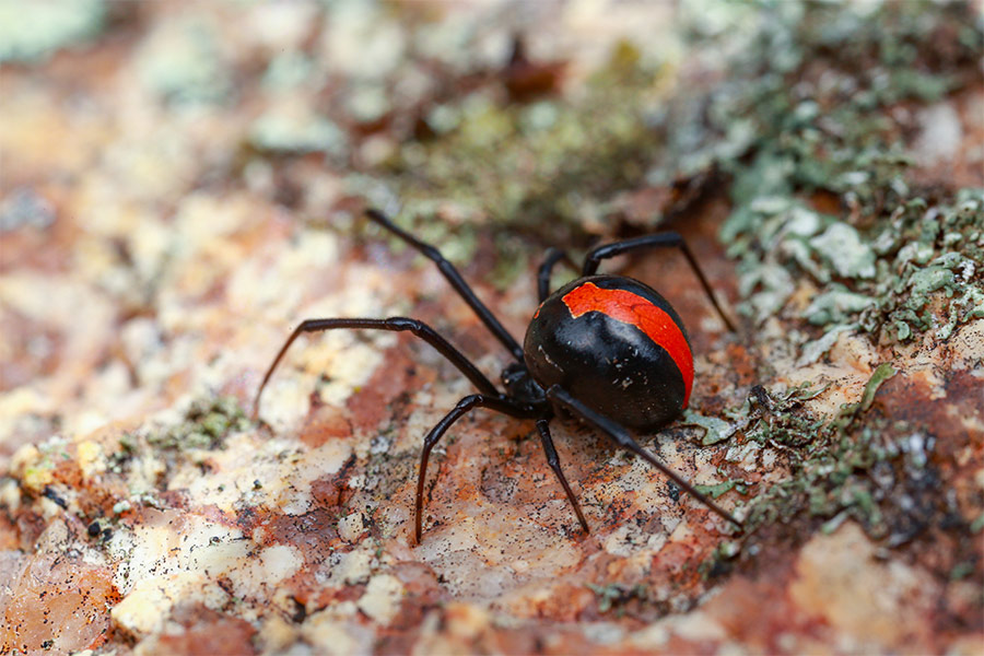 A close up of a redback spider with a very bright stripe. The spider is paused on a textured mossy ground.