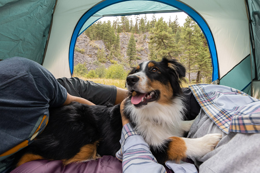 A brown, white, and black dog sitting happily inside a tent.